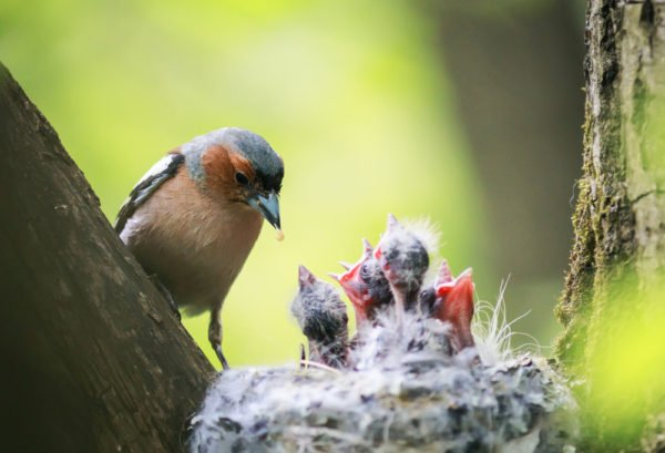 Chaffinch-feeds-its-young-hungry-Chicks-in-the-nest-e1535805946418.jpg