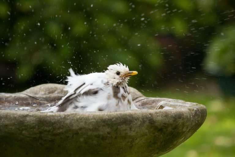 Common-blackbird-white-mutation.jpg