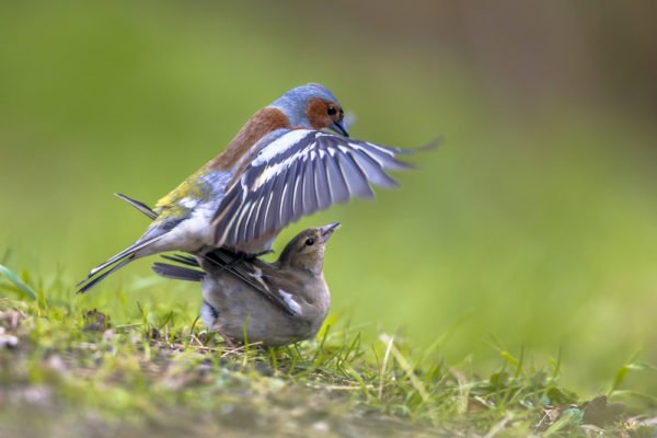 Couple-of-Common-Chaffinch-Fringilla-coelebs-e1535805980814.jpg