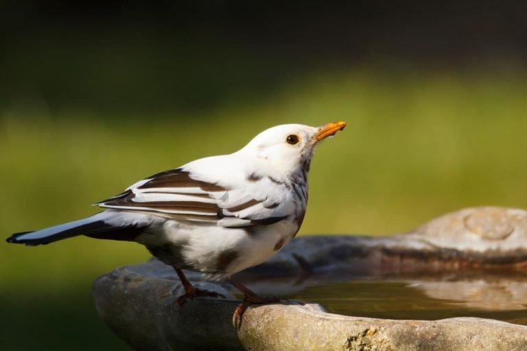 blackbird-mutation.jpg