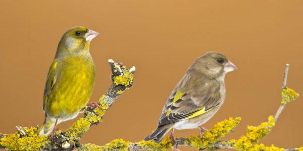 male-and-female-greenfinch-e1524549805973.jpg
