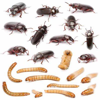 mealworm-life-cycle-1.jpg